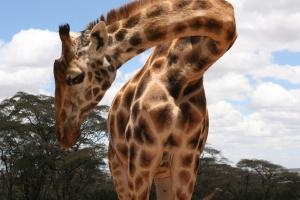 A Great Big Good Morning at Giraffe Manor
